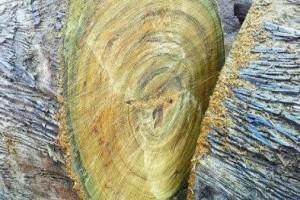 金丝楠木的木材表面真的有金丝浮现吗?这种树有什么用途?