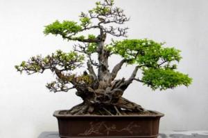 盆景剪枝很困难?四种方法送给你,完美形态尽显!适用于普通绿植