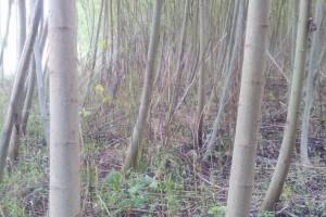 出售竹柳小径原木