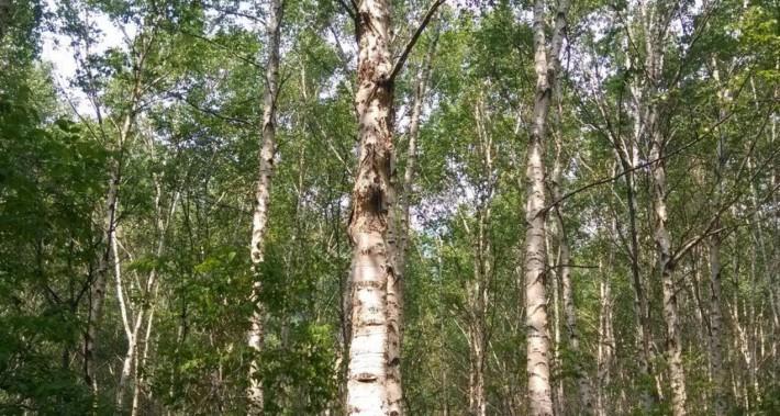 西南桦实木板材的优缺点?