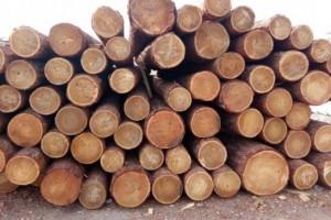 西伯利亚森林非法砍伐现象严重