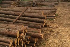 湖北长期杉木批发,杉木出售加工,木方板材,杉木厂家