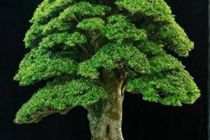 姿势细腻优雅,叶绿和葱,五针松盆景居家该怎么种植养护?