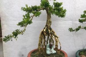 学做盆景时,如何挑选小黄杨树苗?