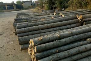 湖北_大量杨木供应,杨木批发,杨木出售加工价格,杨木厂家