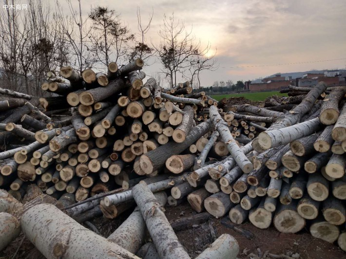 白杨木原木在我们日常生活中使用到的十分多