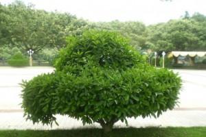 这七种高档乡土树种,值得去种!