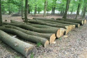 欧洲报告——欧盟砍伐硬木的障碍与机遇