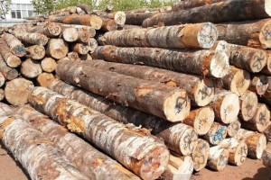 2019年上半年俄罗斯桦木出口输出许可56.7万立方米