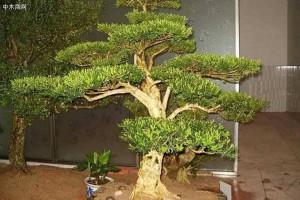 """客厅就养""""值钱树"""",这3种树养在客厅""""档次高"""",还能净化空气"""