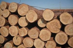 大径级樟子松落叶松原木盈利能力较好
