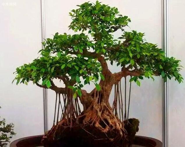 榕树是比较常见的一种盆栽