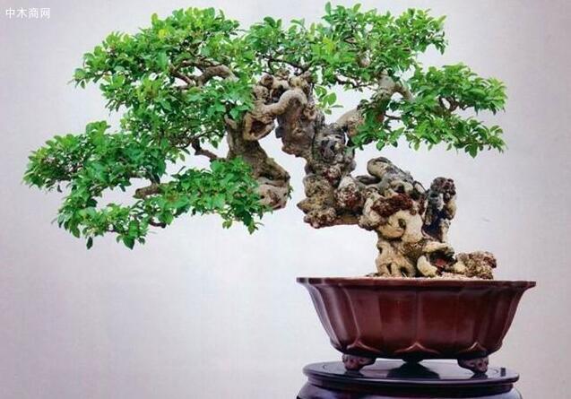 除了施肥这方面之外,在冬季养护榕树还要注意这两点
