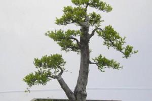 花市新型盆景——雀梅盆景!别致树形,让它看上去更加优雅!