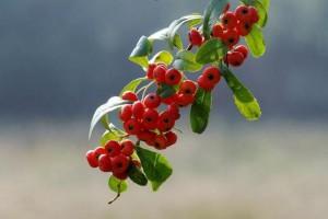 这种火棘灌木在气温零下十几度时也可以挂果!还能做盆景,观赏性极高