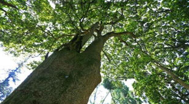 楠木是珍贵的树种吗?