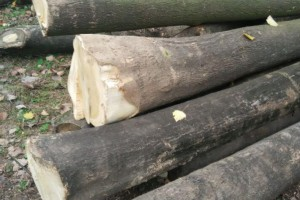 精品 白椿木原木加工 规格齐全 货源充足