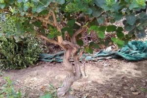 作为多年生草本!金银花养成盆景也不错,这几点栽培要点要记住!