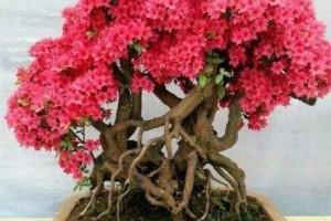 映山红做盆景,该如何采桩如何上盆养护呢?