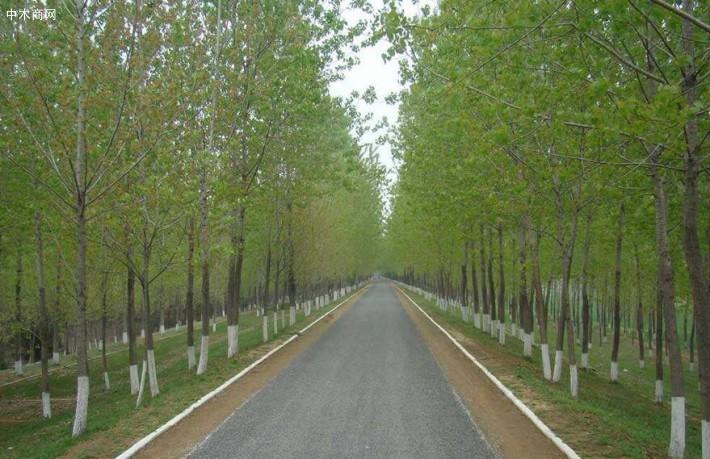 杨树是一种速生丰产树种