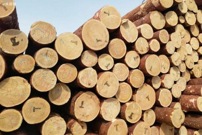 刚进口的俄罗斯落叶松原木