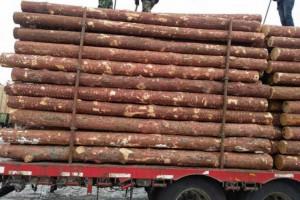 新到货的俄罗斯落叶松原木视频