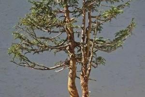 盆景中的双杆高树该如何去处理?