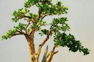 如何把黄杨制作成姿态优美的树木盆景