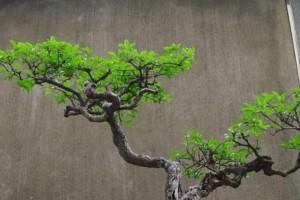 小叶女贞要做成盆景,该如何采桩,如何栽培养胚?