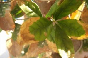 桂花叶子边缘为什么一直慢慢干枯?