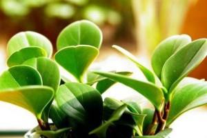 家居养花之净化空气小能手——豆瓣绿