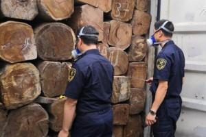 厦门海关在进境原木中检出检疫性害虫