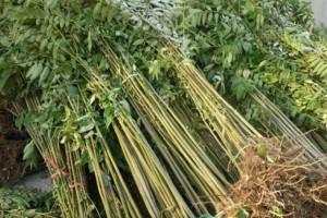 采购:香椿树苗数量五六万棵,一米高左右
