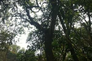 澳大利亚林场直销黑木 相思木原木