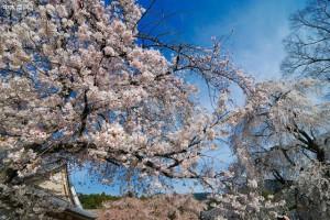 谁说樱花日本最美?贵州这个私藏的人间仙境,万亩樱花海,大气!