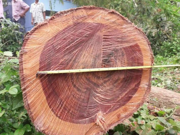 大红酸枝林地-交趾黄檀原木批发