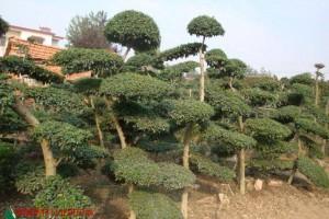 绿化花木价格夹竹桃、小叶女贞造型树、合欢、金丝桃、水杉、月季