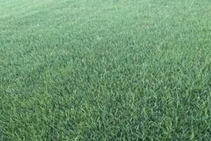 草坪,供百慕大与黑麦草混播草坪,天堂草18796094641
