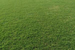 特价供马尼拉草坪,天堂草坪,百慕大电18796094641