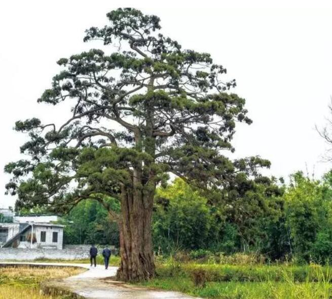 """珍贵树种""""钱""""景无限,发展请认准这份树种名录!-酸枝木"""