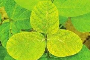 怎么诊断园林苗木是否患有缺素症?