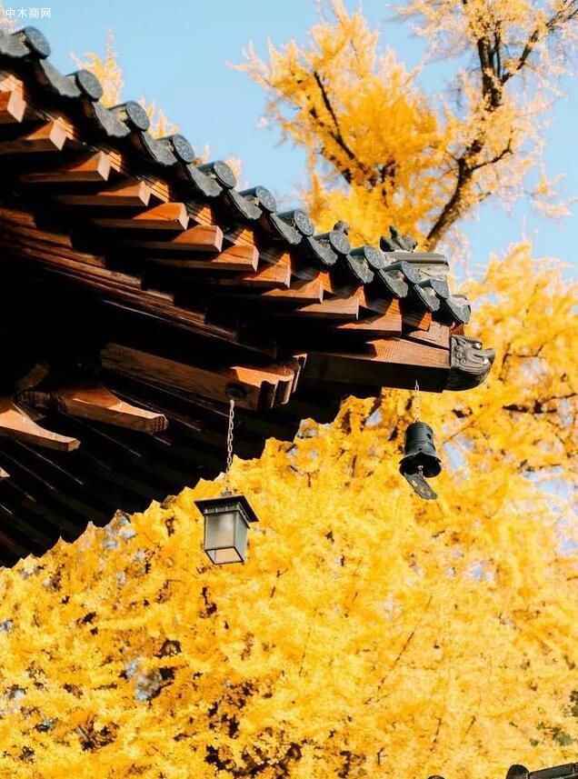 李世民栽了一棵银杏树,美了1400年!-酸枝木