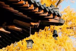 李世民栽了一棵银杏树,美了1400年!