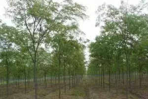 一棵树换一套房,农村种这些树才赚钱!附中国各地宜种珍贵树参考