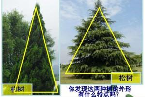 柏树的外形特征和作用