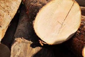 出口中国俄罗斯橡木原木高清图