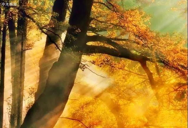 银杏:穿越时间的永恒-红木知识