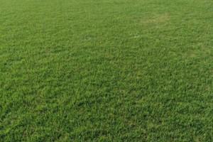 大批量供应百慕大与黑麦草混播草坪 低价