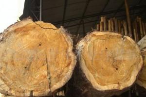 香柏木原木锯材