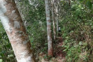 云南橡胶木原木供应